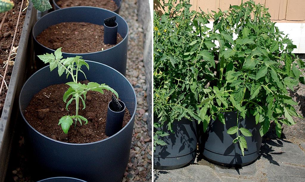 1 maj respektive 3 juni – på drygt en månad har tomatplantan vuxit rejält. Under den här perioden har vi hunnit vattna med Biobact både två och tre gånger. Foto: Lovisa Back