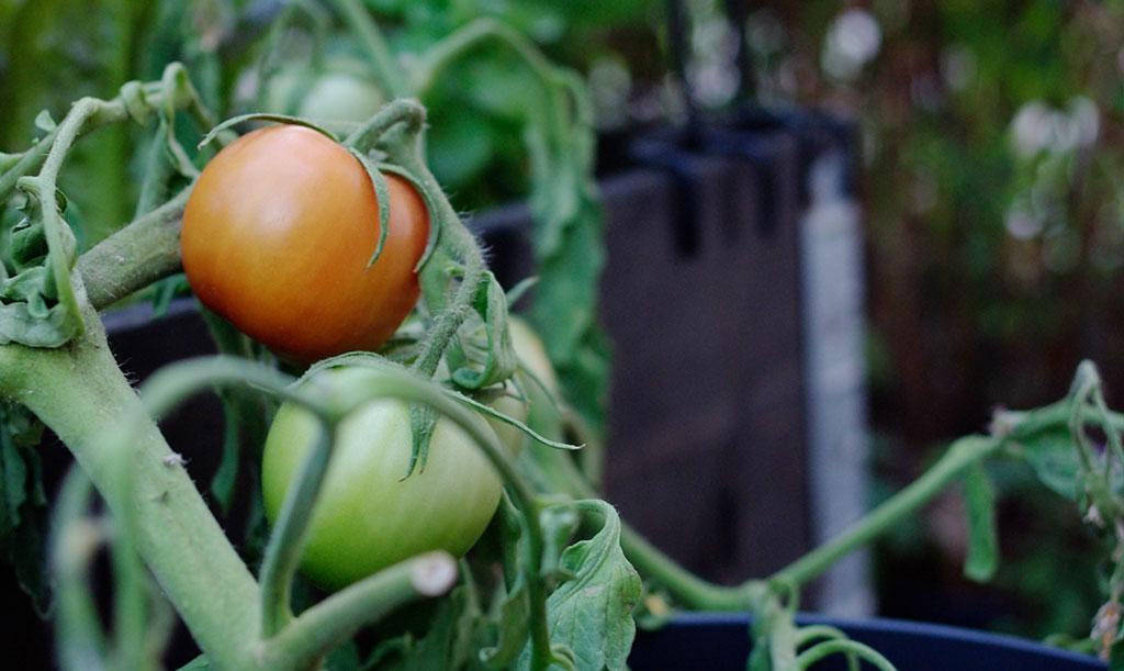 Fortsätt att gödsla så länge plantan växer och sätter frukt. När tillväxten avstannar, och det enda som återstår är fullstora tomater som ska mogna, kan du sluta ge extra näring. Foto: Lovisa Back
