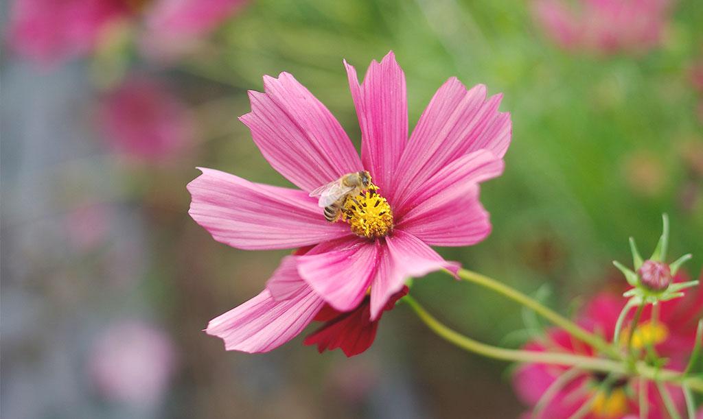 Blomflugor, getingar, bin, humlor och andra insekter flyger mellan blommor och tar med sig pollen – en förutsättning för att många arter ska bilda frö. Foto: Lovisa Back