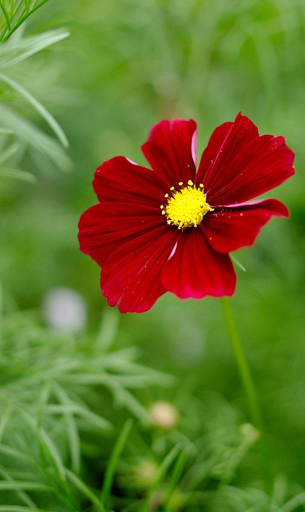 'Gazebo Red' har röda till mörkt ceriserosa blommor. Foto: Lovisa Back