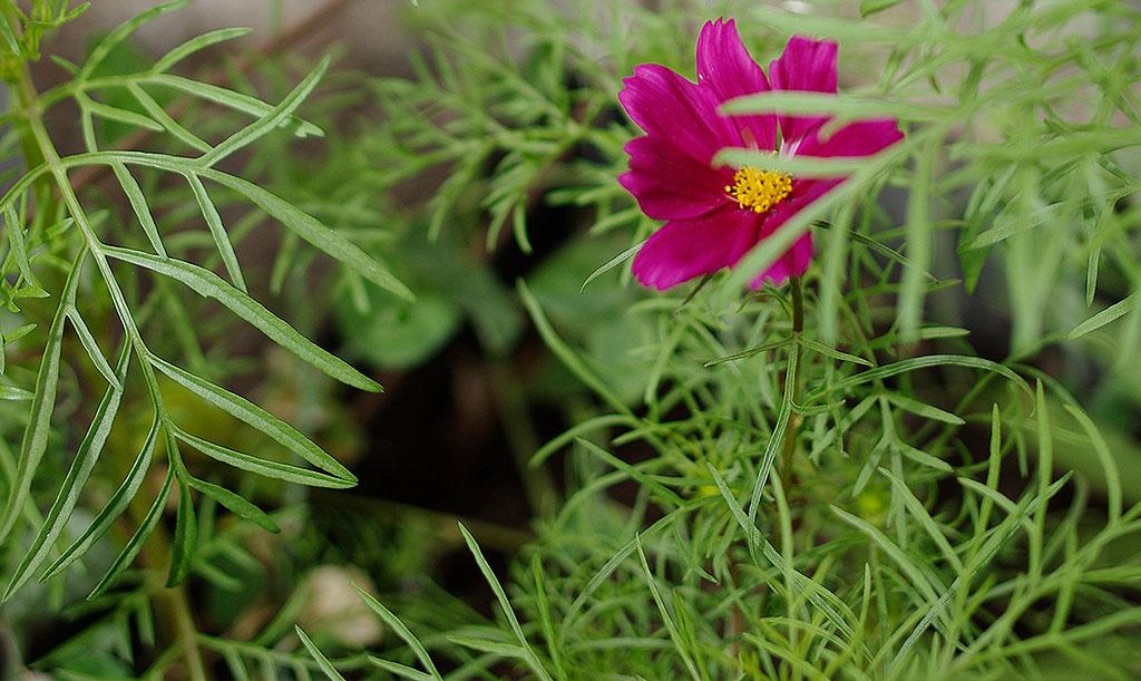 Vid för mycket näring riskerar du att få en sämre blomning. Rosenskäran blommar som bäst i en något magrare jord. Foto: Lovisa Back