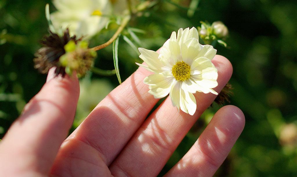'Xanthos' har små, ljusgula blommor. Foto: Lovisa Back