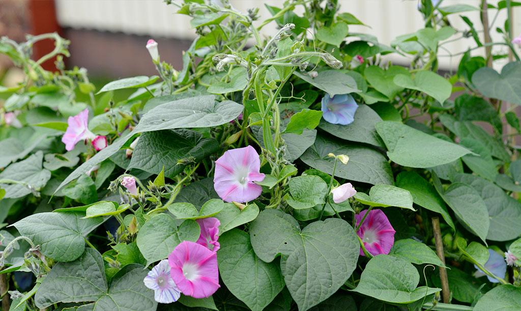 Blomman för dagen kan – i synnerhet på friland – växa sig större lite snabbare än du tänkt. Bäst är att ha ett ordentligt växtstöd på plats redan från början. Foto: Anna Lindeqvist