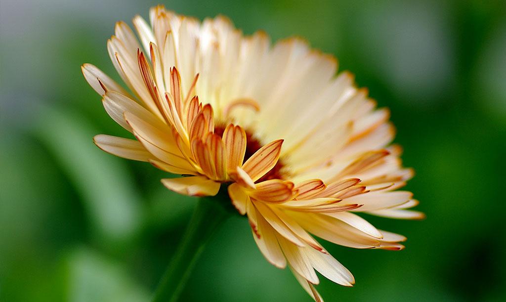 'Bronzed Beauty' har ljuvliga bloomer i en vacker färgkombination. Foto: Lovisa Back