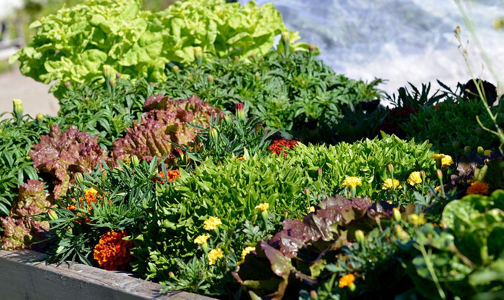 Sallat är inte bara ätbart, utan även dekorativt. Odla stråk av huvudsallat och varva med blommor som tagetes. Foto: Markus Danielsson