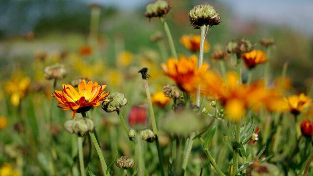 Ringblommorna fortsätter att sätta nya blommor så länge du plockar bort frökapslarna. Du kan också så ringblommor i omgångar för längre blomning. Foto: Lovisa Back