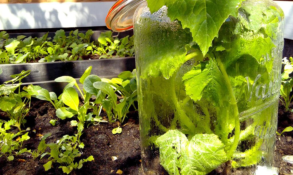Gör gärna ett litet minidrivhus till dina plantor. På bilden ser vi en squashplanta (som vill ut!), men metoden passar utmärkt även för pumpor. Foto: Lovisa Back
