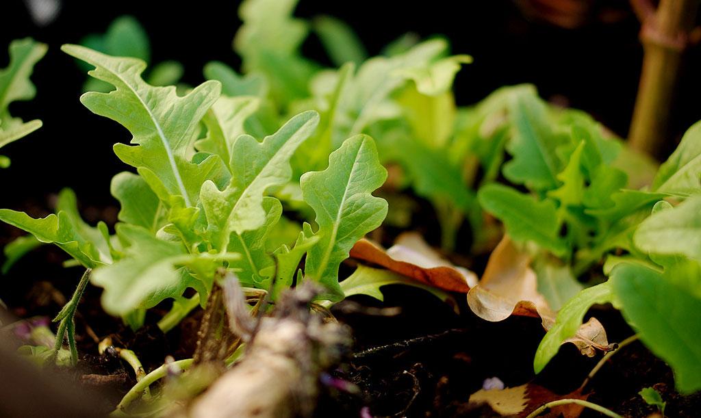 'Cerbiatta' är en relativt köldtålig sallat. Om den odlas på hösten blir hinner inte plantorna blir så stora, men de är minst lika goda! Foto: Lovisa Back