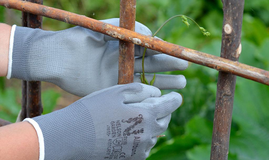 Ibland kan dina klätterväxter behöva lite hjälp på traven för att hitta var de ska klättra. Foto: Markus Danielsson