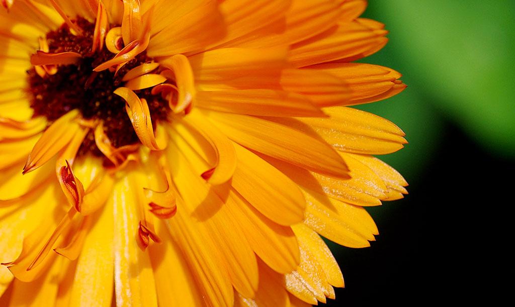 I fröblandningarna kan det dyka upp ringblommor i olika nyanser av orange och gult. Foto: Lovisa Back