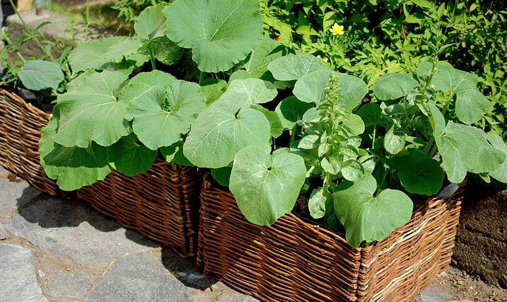 Pumpaplantorna växer sig snart stora. Vill du odla i kruka, bör du välja en stor sådan. Var beredd att vattna ofta. Foto: Lovisa Back
