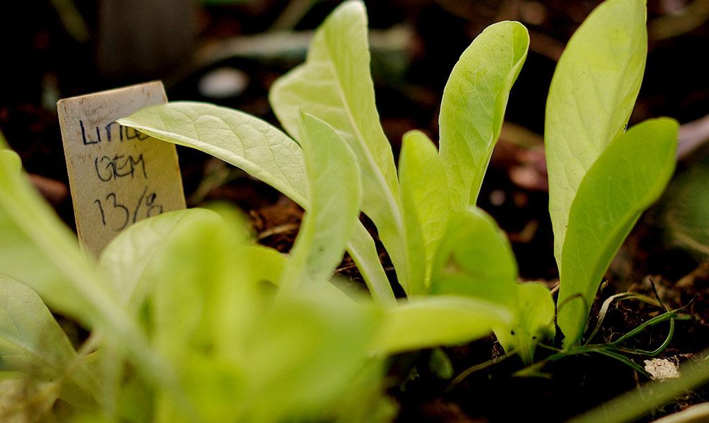 Sallat gror bäst i svalare jord och växer fint även på hösten. Foto: Lovisa Back