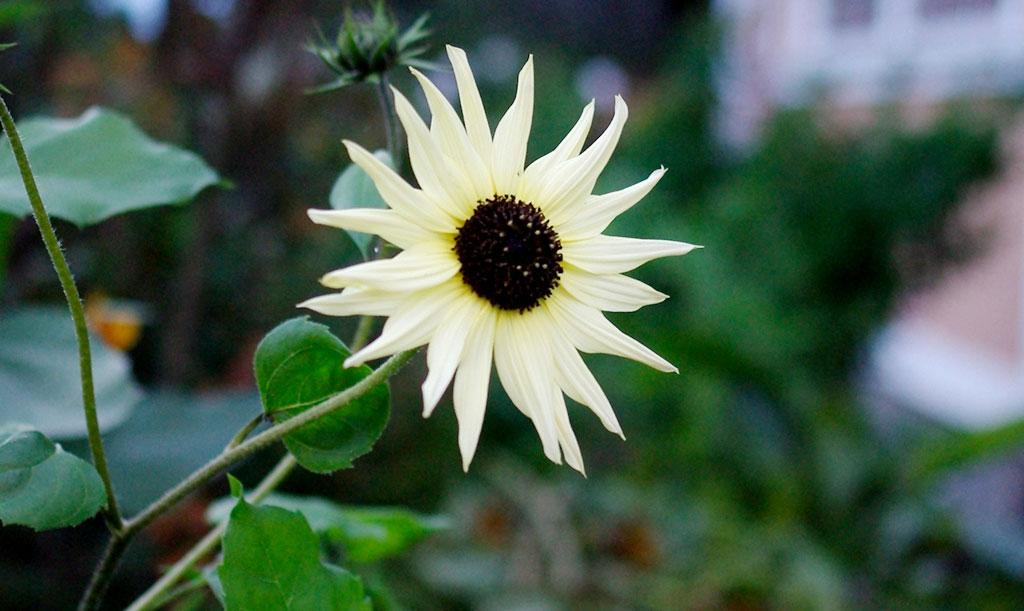 Solrosen 'Icecream' blir hög men förgrenar sig fint och blommar med många ljust vaniljgula blommor. Foto: Lovisa Back