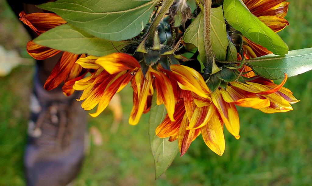 Efter den första, stora blomman fortsätter solrosen 'Ruby' F1 att blomma med lite mindre blommor ända tills frosten kommer. Foto: Lovisa Back