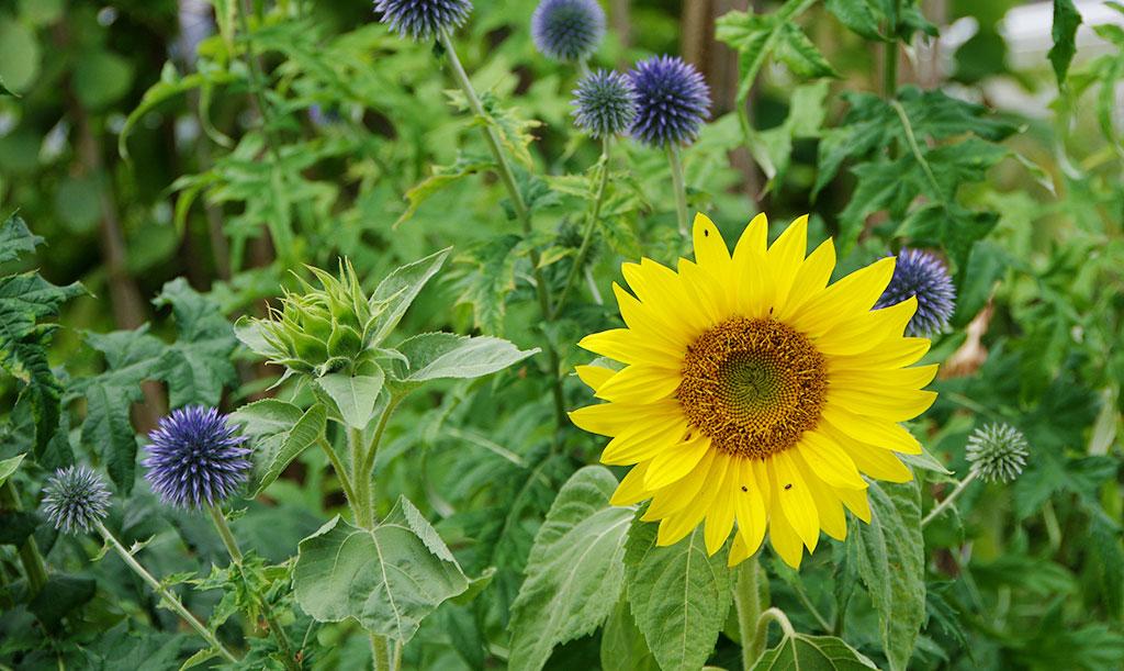 Den klassiskt gula solrosen passar fint tillsammans med blå bolltistel. Foto: Lovisa Back