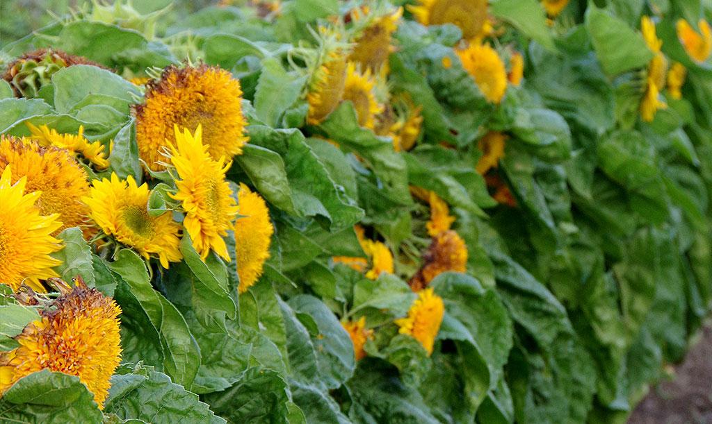 Har du utrymme, prova att odla en häck av solrosor. Då stöttar de dessutom upp varandra! Foto: Lovisa Back