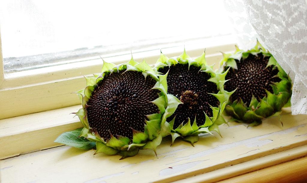 Solrosens fröer är goda för både människor och fåglar. Foto: Lovisa Back