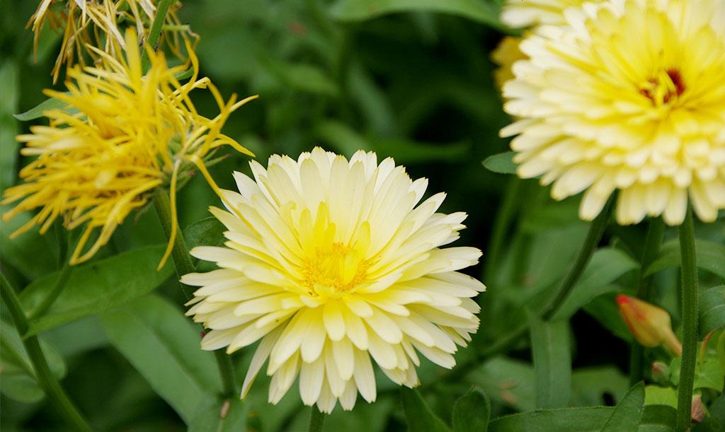 'Ivory Princess' blommar i ljusgula nästan vita toner med mörk eller cremefärgad mitt. Foto: Lovisa Back