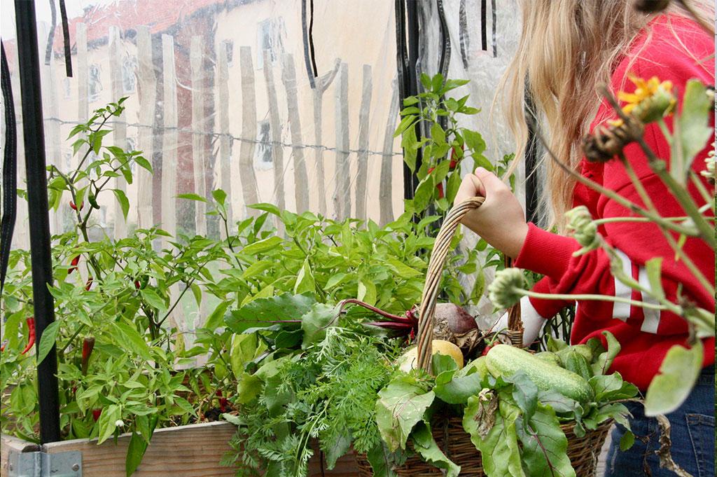I september kan eleverna på Axonaskolan skörda mängder av grönsaker. Foto: Philip Palmstjerna, elev på Axonaskolan
