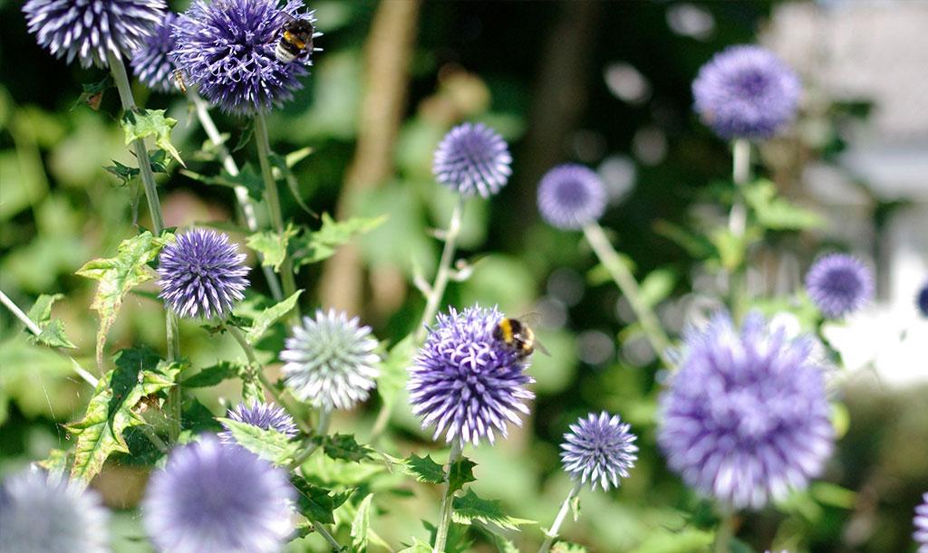 Torktåliga växter som blommar uppskattas av pollinerande insekter. Den blå bolltisten uppskattas av insekter och är dessutom fin som eternell. Foto: Lovisa Back