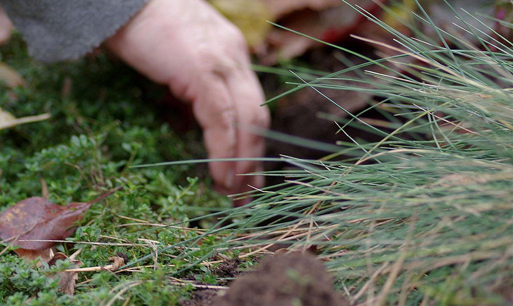 Blåsvingel är ett sött litet gräs som är fint även under hösten. Foto: Lovisa Back