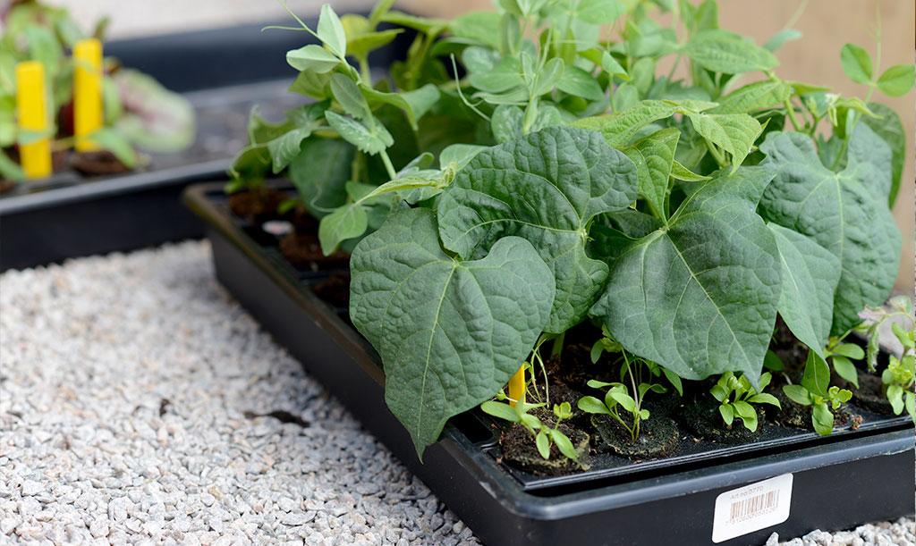 Med småplantor av t.ex. bönor, sallat och kål är du redo att fylla på i din odling. Foto: Lovisa Back