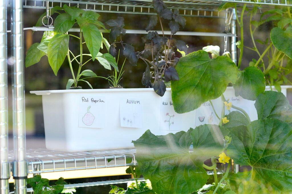 Eleverna får själva välja vad de vill odla i sin hydroponiska odling. Foto: Markus Danielsson