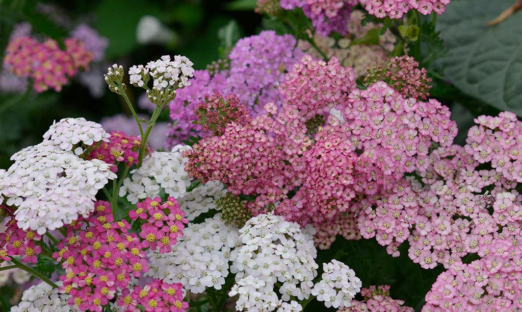 Röllika blommar hela sommaren och återkommer år efter år. Foto: Anna Lindeqvist