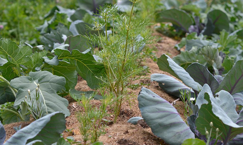 För att dämpa avdunstningen och hålla kvar vattnet i odlingen, är täckodling en bra metod som tillämpas flitigt i Skillnadens trädgård. Foto: Markus Danielsson