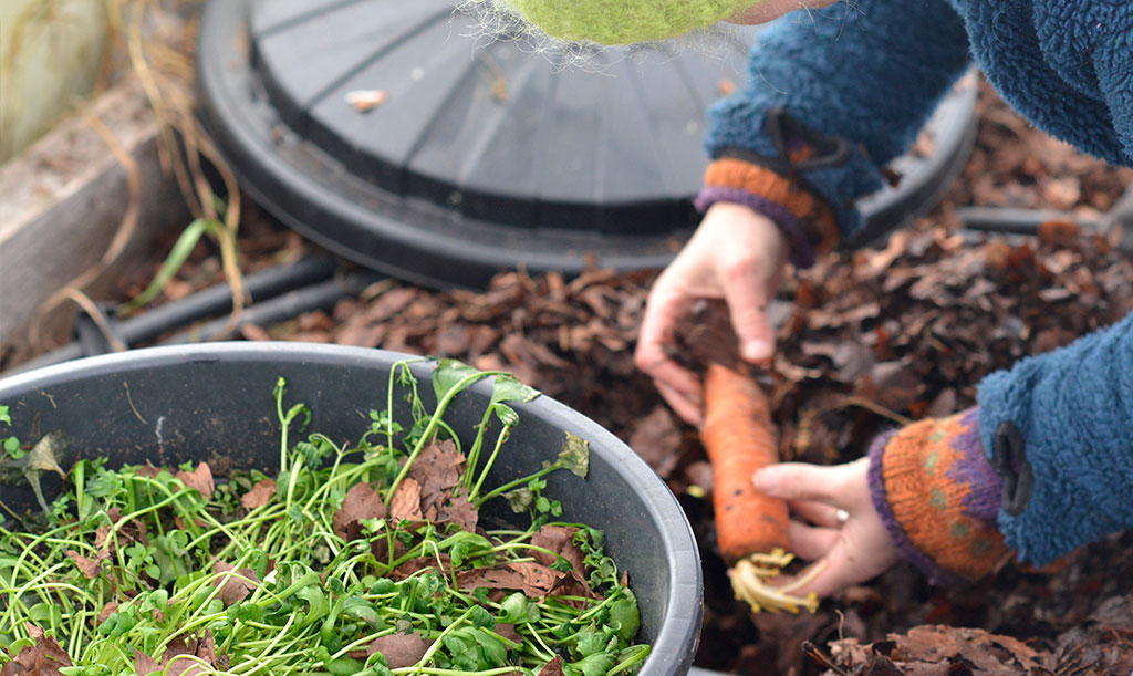 För att kunna lagra alla rotsaker som kålrot och morot, har Sara grävt en stuka i ett av sina tunnelväxthus. Det är helt enkelt en grop i marken som fylls med löv och, såklart, rotsaker! Foto: Markus Danielsson