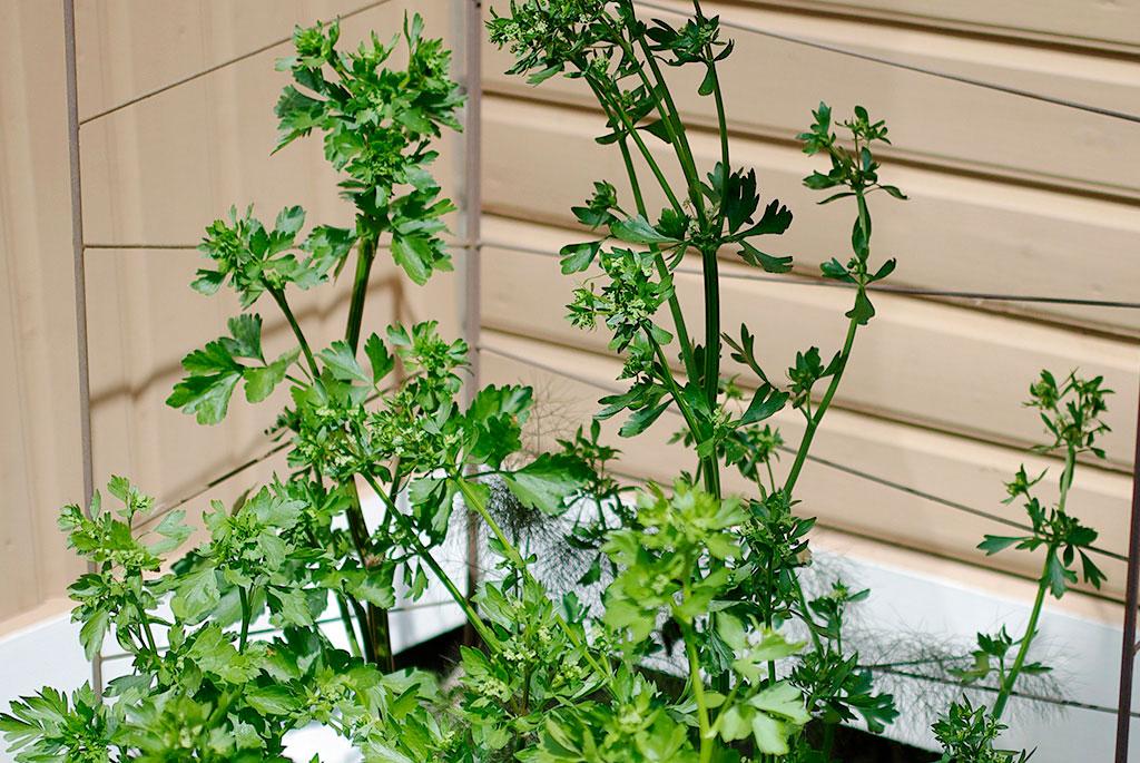 Låt gärna bladsellerin stå kvar i landet över vintern – år två börjar den blomma och sätter fröer. Foto: Lovisa Back