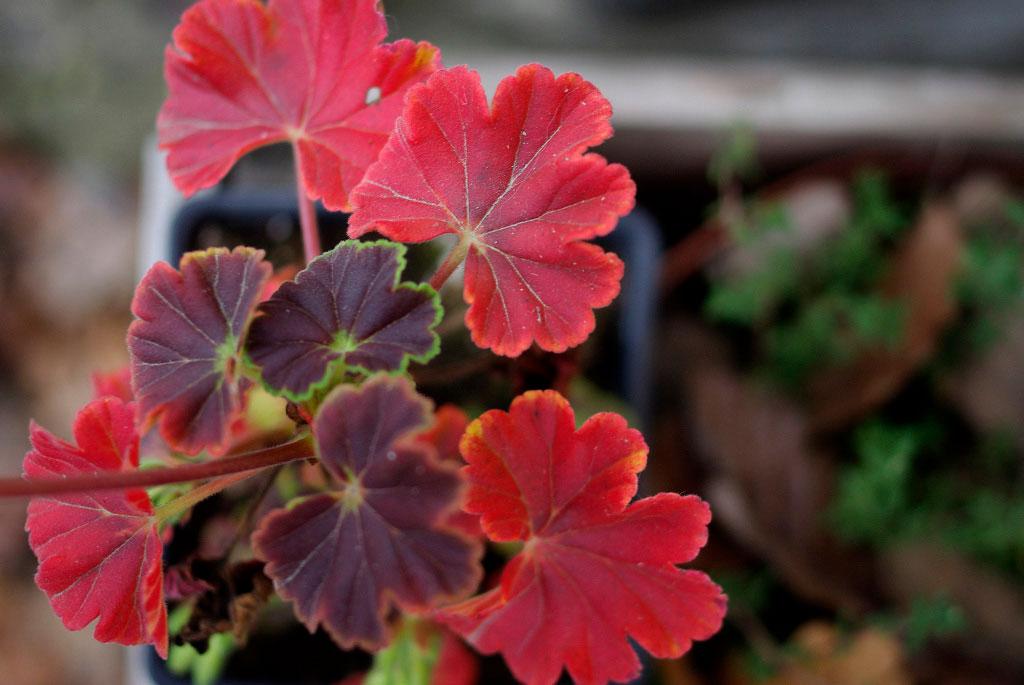 Framåt hösten förbereder sig pelargonen för vintervila, vilket ofta syns på bladen som gulnar eller - som här - blir röda. Övervintra pelargoner. Foto: Lovisa Back