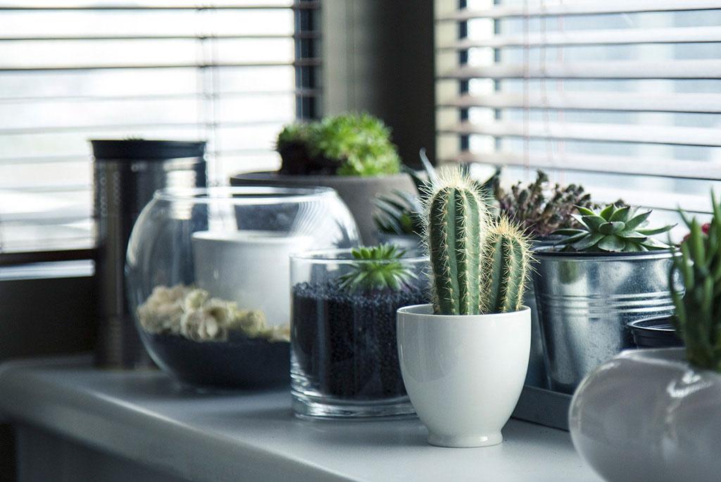 Kaktusar och suckulenter är lätta att övernatta, i synnerhet vintertid. Låt dem hellre stå lite för torrt och var inte rädd för att låta fuktighetsmätaren stå på rött.