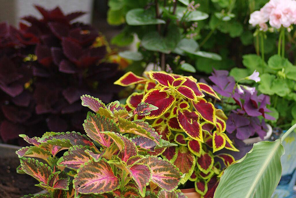 Palettblad, oxalis, malabarspenat och pelargoner på altanen under sommaren.