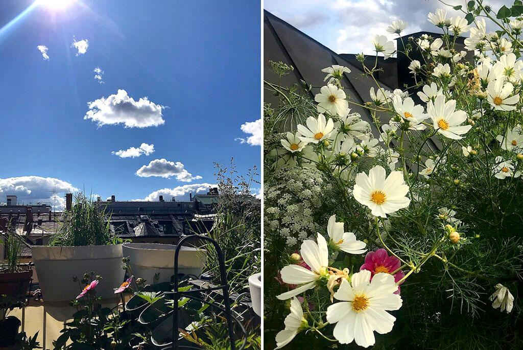 Rosenskära, slöjsilja och dahlia