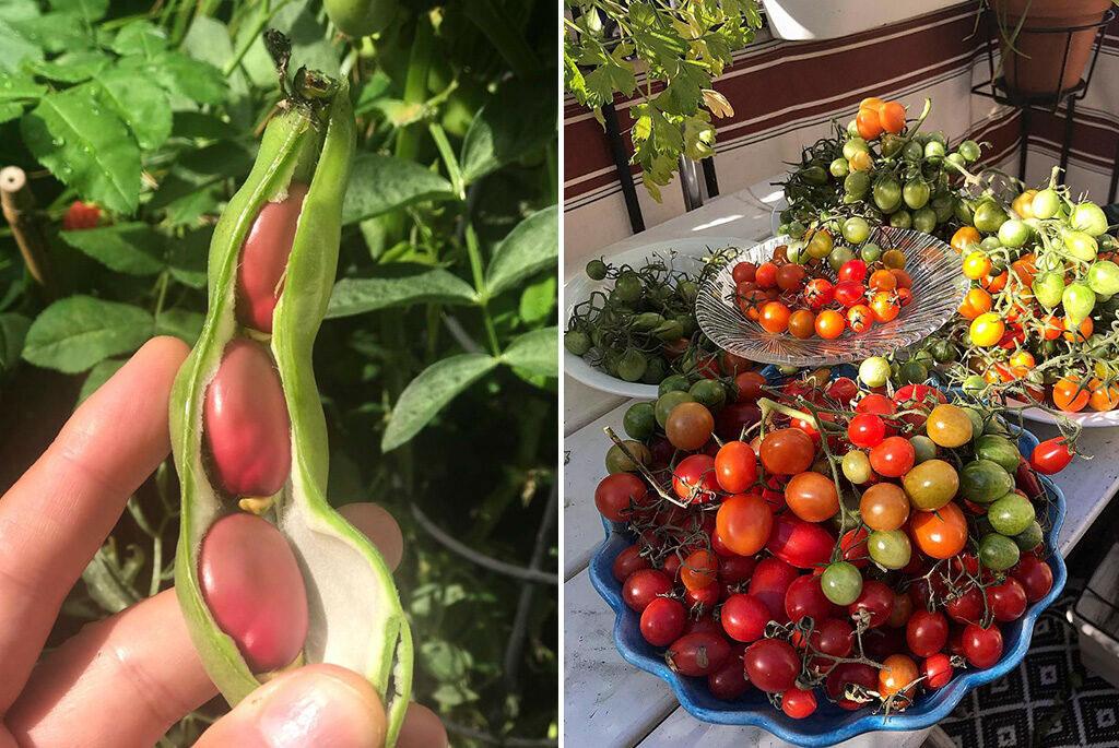 Bondböna och tomater