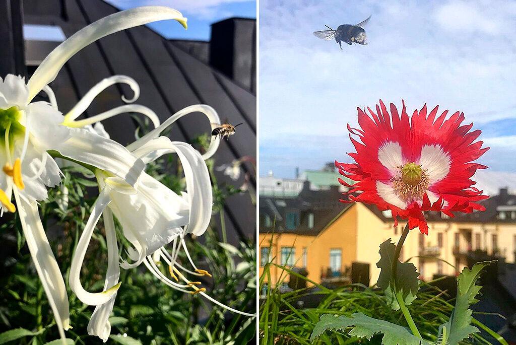 Spindellilja och fjädervallmo 'Dannebrog'