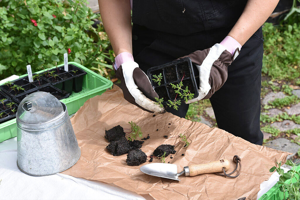 Förså plantorna du vill plantera ut i din vertikala lastpallsodling.