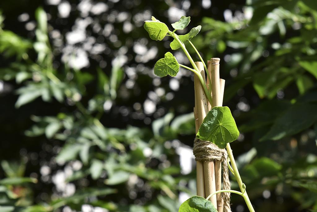 Bambukäpparna binds ihop med em bit jutesnöre.