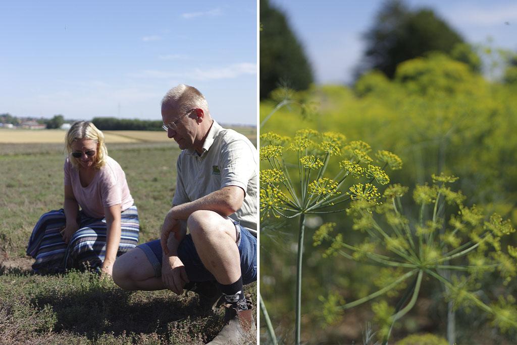 Anna Lindeqvist, fröansvarig på Nelson Garden, och Olof H. Christerson på timjanåkern. Plantorna sattes år 2017 och 2021 finns fröer från dessa plantor i fröpåsar från Nelson Garden.