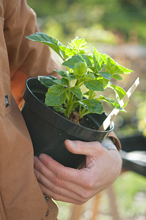 Förodlad dahliaknöl i kruka som avhärdas innan det är dags för utplantering.