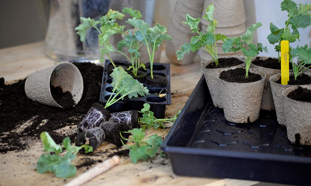 Omskolning av plantor