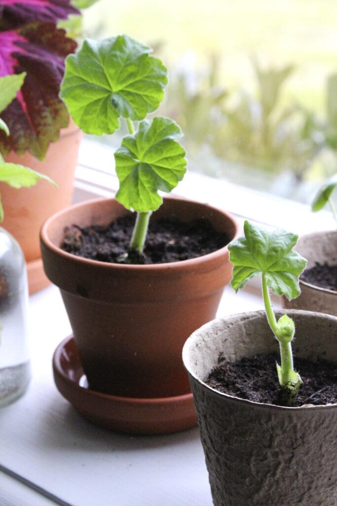 Pelargon är en bra växt att börja ta sticklingar av. Foto: Johanna Lindqvist