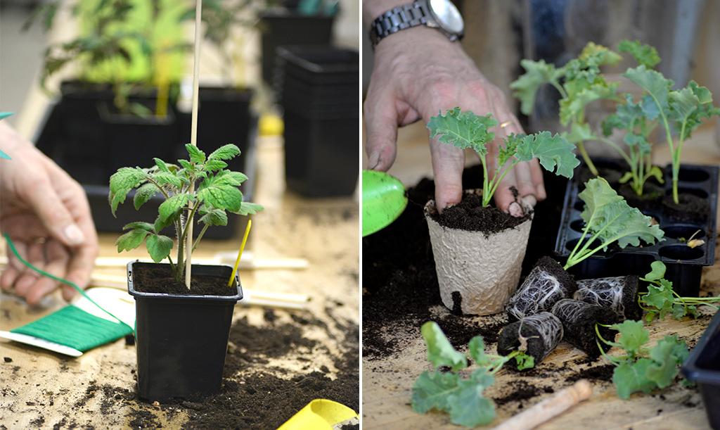 Både tomat och grönkål kan planteras djupare vid omskolning. Foto: Markus Danielsson