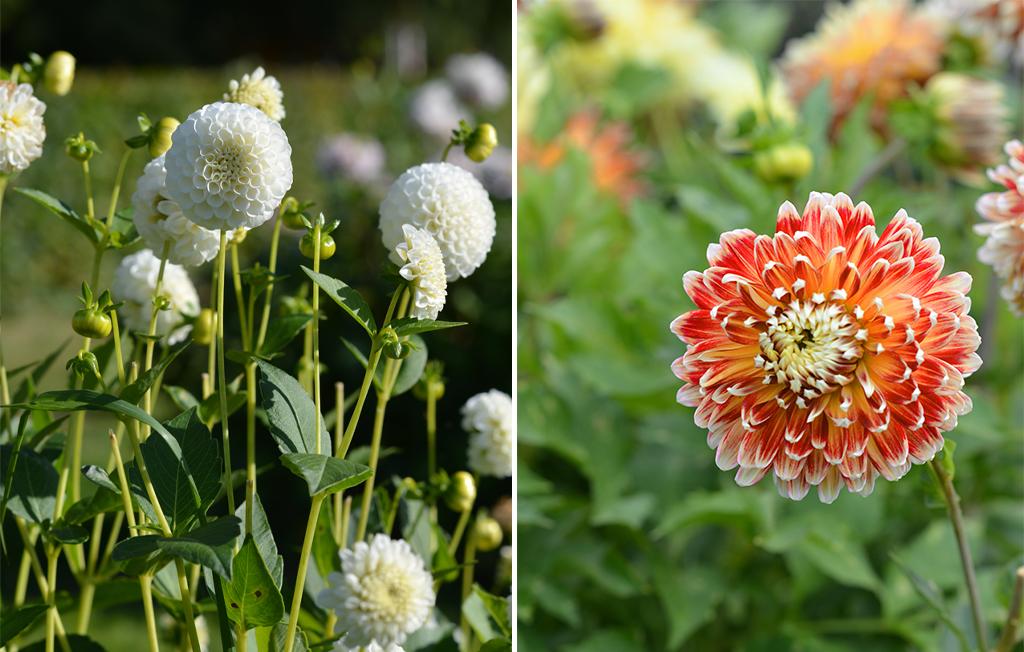 Det finns massor av dahliasorter i olika färger, former och storlekar. Pompondahlian 'Snowflake' är en pompondahlia som är otroligt söt med sina gräddvita blommor och den eldiga dekorativdahlian 'Akita' sticker ut i rabatten.