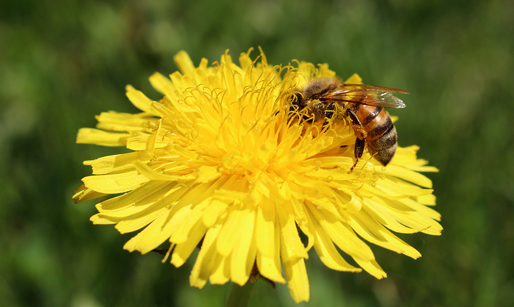 Maskros ses ofta som ogräs men är väldigt rik på både nektar och pollen.