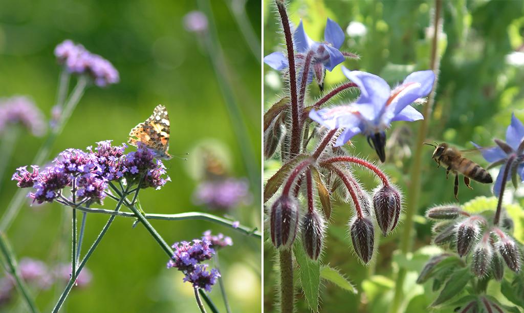 Både jätteverbena och gurkört är populära hos våra pollinatörer.