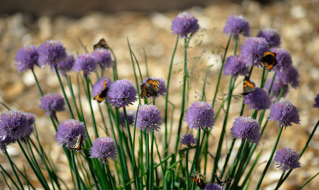 Gräslökens blommor är väldigt omtyckta av fjärilar. Foto: Markus Danielsson